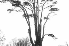 N5_0007__Cedar_in_grounds_of_Coopers_1967