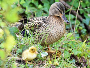 Ducks by the ponds - Photo by Don Drage